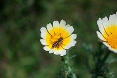 关闭授粉一朵白黄色雏菊的工蜂在春天期间 库存照片