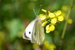 关闭授粉野花的粉蝶蝴蝶在春天期间 免版税库存图片