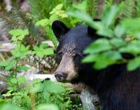 关闭掩藏在森林的一只黑熊在不列颠哥伦比亚省加拿大 库存图片