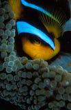 关闭掩藏在他的银莲花属家的小丑鱼 免版税库存图片