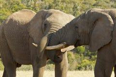 关闭搏斗观点的两头的大象 免版税库存照片