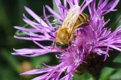 关闭搜寻在紫罗兰色D的观点的花粉被装载的蜂蜜蜂 免版税图库摄影