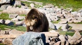 关闭搜寻食物的北美灰熊 库存图片