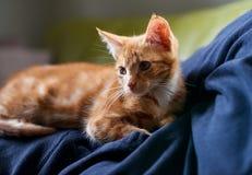 关闭放下在人的一只可爱的红姜平纹小猫 免版税库存图片