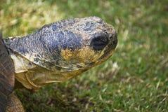 关闭放热的草龟  免版税库存照片