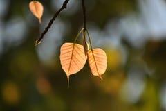 关闭新出生在新早晨,叶子,生活,宏指令 库存照片