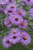 关闭新英格兰翠菊花的图象 库存图片