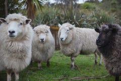 关闭新西兰美利奴绵羊的面孔在农场 库存图片