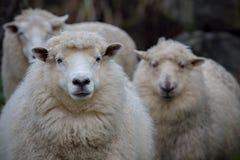 关闭新西兰美利奴绵羊的面孔在农村农业的 库存照片