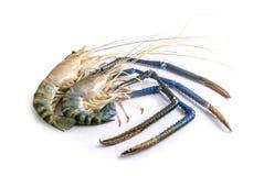 关闭新鲜两巨型淡水大虾孤立 库存图片