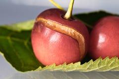 关闭新鲜的可口鲜美甜樱桃宏指令与水蠕虫叮咬滴和踪影的在灰色梯度背景的 免版税图库摄影