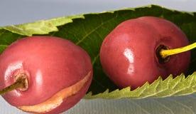关闭新鲜的可口鲜美甜樱桃宏指令与水蠕虫叮咬滴和踪影的在灰色梯度背景的 库存照片