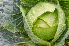关闭新鲜的圆白菜头与很多叶子的在领域 库存图片