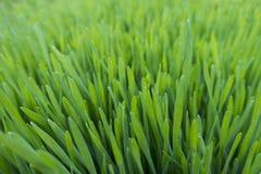 关闭新鲜的增长的Wheatgrass 免版税库存照片