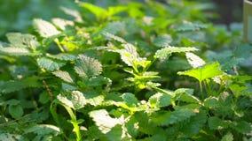 关闭新鲜的绿色薄荷薄菏,蜜蜂花叶子在有机蔬菜庭院里在晴朗的夏日,收获 股票录像