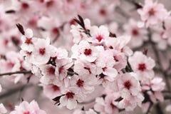 关闭日本樱桃花 免版税库存照片
