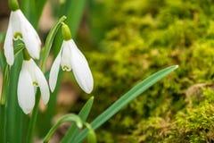 关闭早期的春天snowdrops和青苔在苏格兰木头 库存照片
