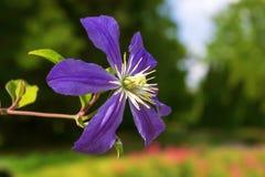一美丽的紫色铁线莲属 图库摄影