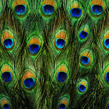 关闭显示它惊人的尾羽的一个公孔雀 免版税库存图片