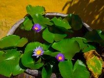 关闭有一朵美丽的紫色花的一棵莲花acuatic植物在露台,在房子在Hoi一个古镇,  免版税图库摄影
