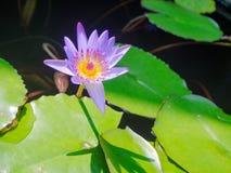 关闭有一朵美丽的紫色花的一棵莲花acuatic植物在露台,在房子在Hoi一个古镇,  库存图片