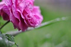 关闭有小滴的桃红色罗斯 免版税库存照片