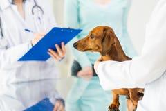 关闭有达克斯猎犬狗的狩医在诊所 免版税库存照片