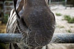 关闭有长的颊须的斑马枪口 图库摄影