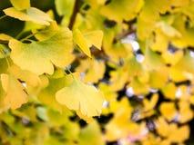 关闭有bokeh的银杏树叶子 免版税图库摄影