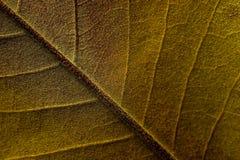 关闭木兰树叶子细节  免版税库存照片