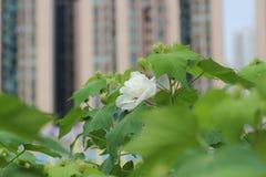 关闭木槿mutabilis公园秋天 免版税库存照片