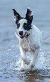 关闭杂种赛跑小狗在水的 库存图片
