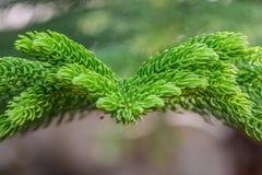 关闭杉木叶子 免版税库存图片