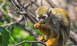 关闭松鼠猴子和吃坐树枝的松鼠猴属sciureus画象  免版税图库摄影