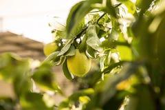 关闭柠檬树在Lemon Grove 库存图片