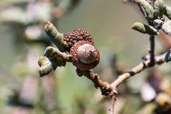 关闭栎属durata (加利福尼亚胭脂栎,皮革橡木)橡子,南部旧金山湾,圣荷西,加利福尼亚;这个种类 免版税库存图片