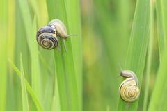 关闭树丛蜗牛,棕色有嘴蜗牛Cepaea nemoralis b 库存图片