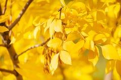关闭树黄色叶子在秋天 库存图片