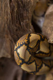关闭样式蟒蛇被构造的蛇皮摘要 免版税库存图片