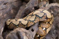 关闭样式蟒蛇被构造的蛇皮摘要 图库摄影