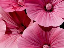 关闭桃红色冬葵 库存图片