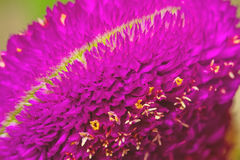 关闭桃红色千日红,学士按钮花的花粉 免版税库存照片