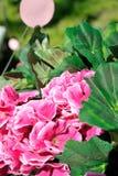 关闭桃红色和绿色花 库存图片