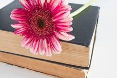 关闭桃红色大丁草雏菊花在书白色 库存图片