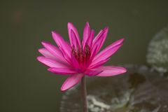 关闭桃红色开花在池塘背景,睡莲科的颜色新鲜的莲花开花或荷花花 免版税图库摄影