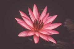 关闭桃红色开花在池塘背景,睡莲科的颜色新鲜的莲花开花或荷花花 免版税库存照片