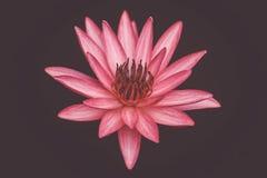 关闭桃红色开花在池塘背景,睡莲科的颜色新鲜的莲花开花或荷花花 免版税库存图片