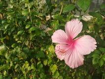 关闭桃红色木槿的图片或汉语在绿色庭院里上升了 免版税库存照片