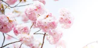 关闭桃红色樱桃开花佐仓 库存照片