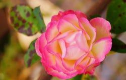 关闭桃红色玫瑰在庭院里 免版税图库摄影